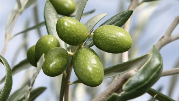 tac-olio-extravergine-oliva